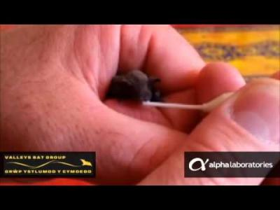 Micro Pastette® being used to Feed a Baby Bat