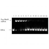 Taq Mut S DNA repair enzyme deletion insertion mutation detection Nippon Gene Wako